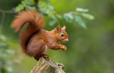 Foto op Aluminium Eekhoorn Red Squirrel in the forest