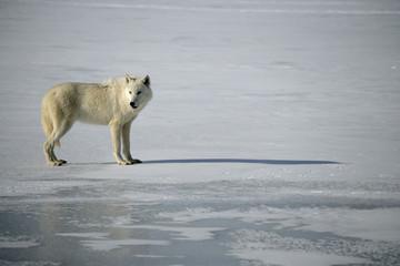 Fotoväggar - Arctic wolf, Canis lupus arctos