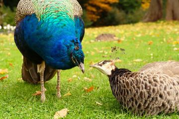 pair of loving peacocks
