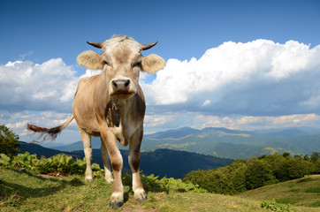 Beautiful landscape with a calf in the mountains in Karpath, Ukr