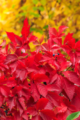 plant with red leaves on a yellow foliage background
