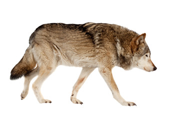 Deurstickers Wolf wolf. Isolated over white