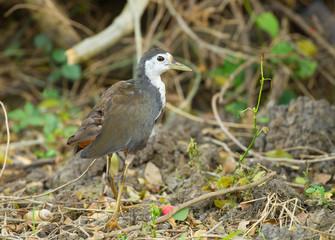 Amaurornis phoenicurus walking in nature
