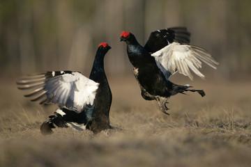 Fotoväggar - Black grouse, Tetrao tetrix,