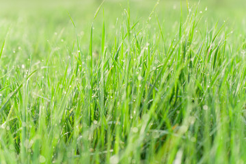 Green grass with water drops  - nature concept