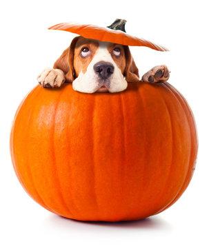 beagle in pumpkin