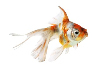 Goldfish (Carassius auratus), Shubunkins on a white background