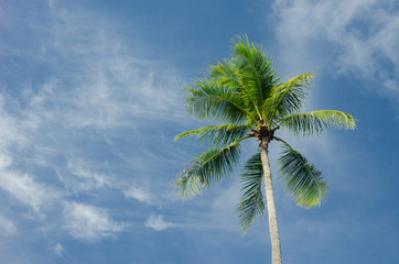 Green coconut tree on blue sky background