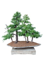 Bonsai tree - Larch