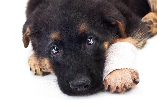 Puppy german shepherd dog with bandage on a white background.