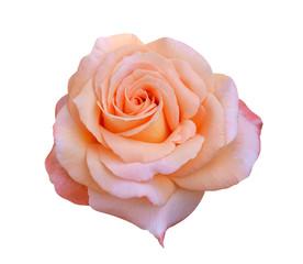 orange rose isolated on white background
