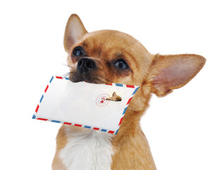 Red chihuahua dog with post envelope isolated on white backgroun