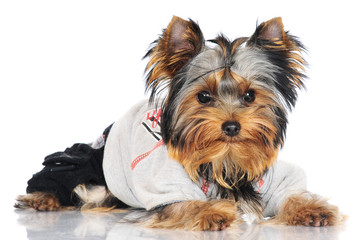 yorkshire terrier puppy in a costume