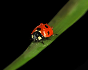 Beautiful ladybird on green grass, isolated on black