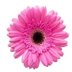 Garden Poster Gerbera Gerbera flower isolated on white background