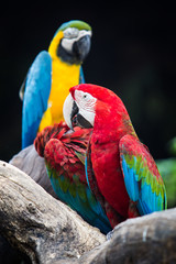 Blue-and-red macaw