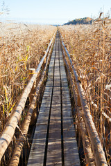 Wooden path through reeds.