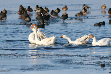 Domestic geese and wild ducks on lake