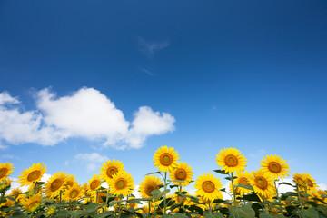 Fototapete - 青空とヒマワリ畑