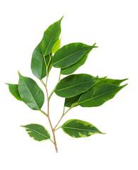 Foto op Canvas Waterverf Illustraties Green leaves