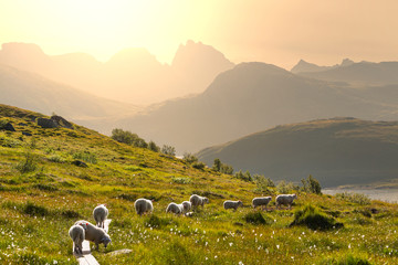 Foto op Aluminium Scandinavië Sheep in Norway