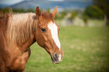 Portrait of a bay horse, 9 years old, outdoors in the rays of th
