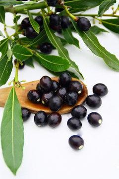 laurier sauce,plante aromatique et ses fruits