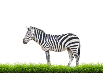 Wall Mural - zebra with green grass isolated