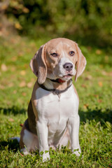 Beagle dog sits on green meadow