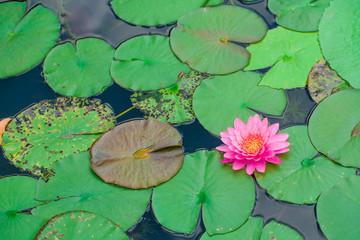 beautiful lotus flower in blooming at sunset