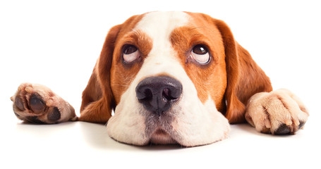 beagle head isolated on white Wall mural