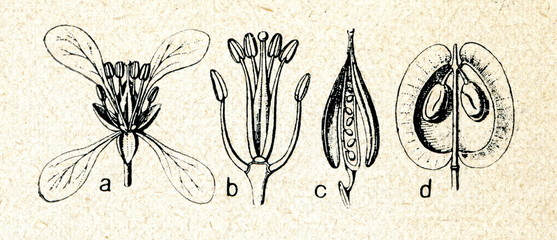Brassicaceae family of flowering plants