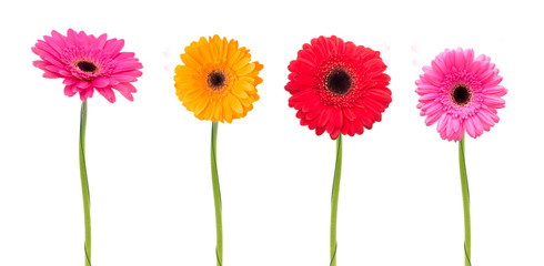 Tuinposter Gerbera Gerbera flower isolated on white background