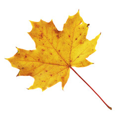 Maple-leaf isolated over white