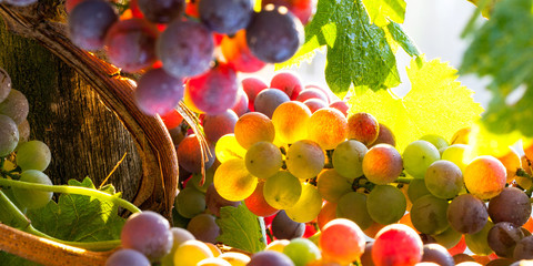 Wall Mural - grapes rainbow