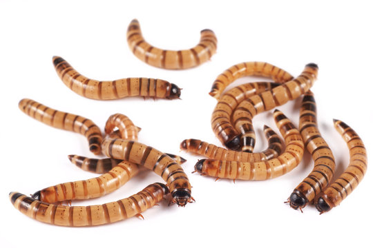 Superworm, zofobas (Zophobas morio), larvae