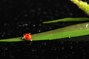 Beautiful ladybird on green grass, on black background