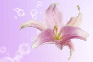 Bud aromatic beautiful flower exotic pink lily.Spa concept