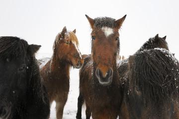 Portrait of an Icelandic horse.