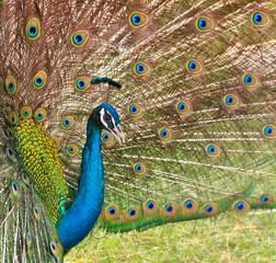 Peacock in the pairing season