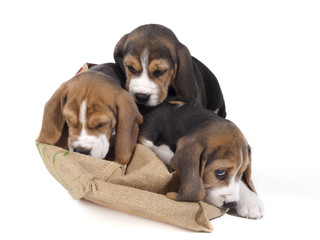 beagles in a bag
