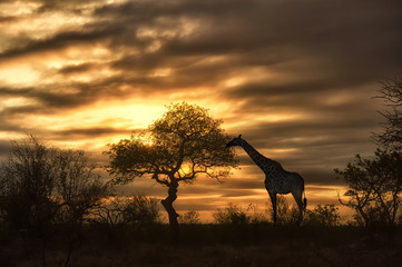 african giraffe walking in sunset