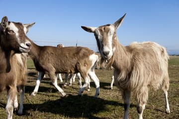 Goat looking at camera.