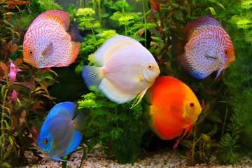 Discus (Symphysodon), multi-colored cichlids in the aquarium