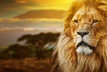 Lion portrait on savanna background and Mount Kilimanjaro