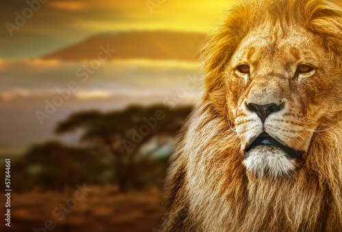 Wall mural Lion portrait on savanna background and Mount Kilimanjaro