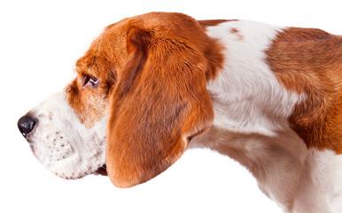 beagle head  on white