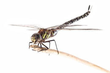Dragonfly, Migrant Hawker (Aeshna mixta), on a white background