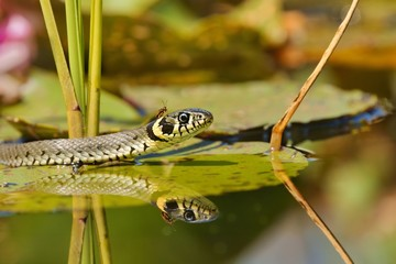 Grass Snake (Natrix natrix) an insect on the head