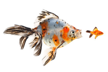 Goldfish, big fish hunting for small fish, on a white background